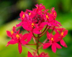 cultivando Orquídeas e idéias: EPIDENDRUM -Um mega genero de plantas robustas e elegantes