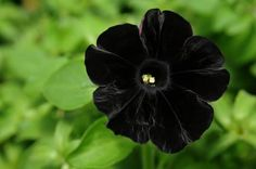 Black Cat Petunia…oh how I want these for my garden! Black Cat Petunia…oh how I want these for my garden! Unusual Flowers, Rare Flowers, Black Flowers, Amazing Flowers, Beautiful Flowers, Nice Flower, Flower Diy, Black Orchid, Beautiful Gardens