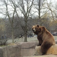 at the zoo ... brown bear!