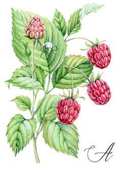 Raspberry - watercolor botanical illustration by Kateryna Savchenko http://www.akvarelldesign.com