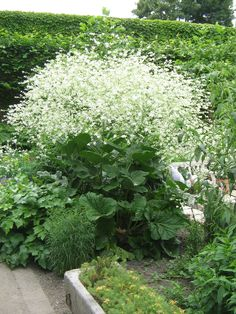Crambe cordifolia Will grow anywhere but needs free-draining soil. Can grow to 6ft.