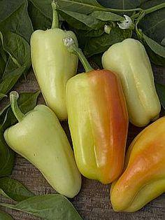 Diamond Pepper Capsicum annuum 'Sweet'