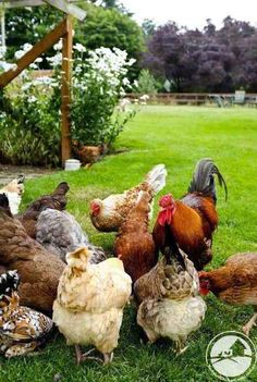 Chickens On The Farm(so you know what happen in the house next door?A new guy is in town. Gallus Gallus Domesticus, Chickens And Roosters, Fancy Chickens, Chicken Breeds, Chicken Coops, Chicken Tractors, Down On The Farm, Farms Living, Raising Chickens