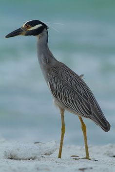 Yellow-crowned Night Heron At first glance, Yellow-crowned Night Herons look a lot like Black-crowned Night herons, but they have yellowish-white crowns and an all-black bill.  They are also slightly smaller, with a wingspan of about 42 inches. ~ Photo & Video Sharing by SmugMug