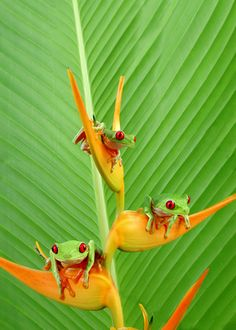 Three Red-eyed Tree Frogs on a heliconia flower. Funny Frogs, Cute Frogs, Colorful Animals, Cute Animals, Frog Pictures, Red Eyed Tree Frog, Frog And Toad, Reptiles And Amphibians, All Gods Creatures