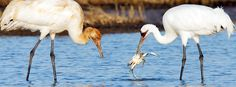 Bird conservation success story: the Whooping Crane. Photo by Brian Small. Success Story, Organizations, Crane, Conservation, Sustainability, Environment, Wildlife, Organizing Tips, Organizers