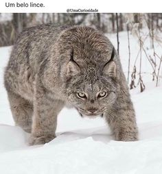 Lynx--such a beauty.