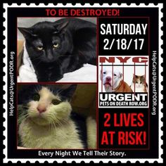 "TO BE DESTROYED 02/18/17 - - Info     Please share View tonight's list here: http://nyccats.urgentpodr.org/tbd-cats-page/.  The shelter closes at 8pm. Go to the ACC website( http:/www.nycacc.org/PublicAtRisk.htm) ASAP to adopt a PUBLIC LIST cat (noted with a ""P"" on their profile) and/or … CLICK HERE FOR ADDITIONAL…Please...-  Click for info & Current Status: http://nyccats.urgentpodr.org/to-be-destroyed-020417/"