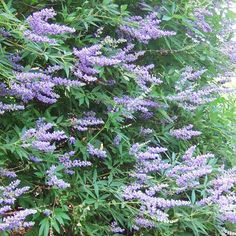 Chaste tree  Chaste tree is a drought-tolerant shrub with elegant divided compound leaves and fragrant lilac, blue, or white flowers borne in long panicles in late summer to autumn. Gardeners in Zone 5 can treat it like a perennial because it dies to the ground each winter but resprouts from the