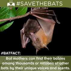 Bats across North America will be having their pups this month. In celebration we have a special bat fact! #BatFact #BatBabies #SAVETHEBATS #Bats #Pups #Science #Environment #Conservation