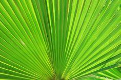 Tipos de Palmas - Puerto Rico es una isla bendecida por una gran cantidad de palmas. Las palmas son parte de lo que nos distingue como país en el mundo entero. Por eso es siemp