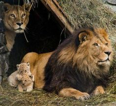 Lion family at rest