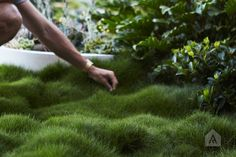 No-Mow Grass — Adam Robinson Design Landscape Design, Garden Design, Landscape Architecture, Zoysia Grass, No Mow Grass, Organic Weed Control, Chinese Money Plant, Lawn Edging, Ground Cover Plants