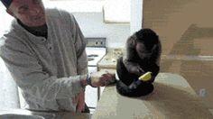 Monkey Tries A Lemon, Does Not Approve