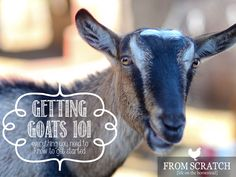 Getting Goats 101 – Everything you Need to Know to get Started http://www.fromscratchmag.com/getting-goats-101/