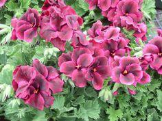 Martha Washington geranium...my favorite annual
