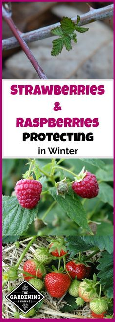 Indoor Vegetable Gardening Learn how to properly overwinter strawberries and raspberries and protect plants from the frost.