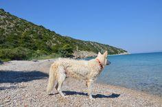 White Swiss Shepherd looking at the sea