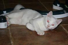 BLANCA - Gato adoptado - AsoKa el Grande
