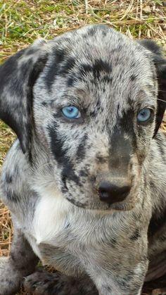 Meet KARMA a Catahoula leopard dog