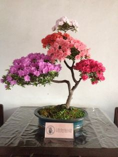 "azalea bonsai tree: ""And now for the bloominest of all! Five shades grafted onto one plant!"""