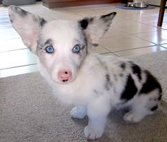 """""""Domino has the marshmallow legs."""" [Photo caption: Domino is a blue merle Cardigan corgi. Yes, corgis come in all sorts of wonderful colors!]~[Photo courtesy of: """"OCD: Obsessive Corgi Disorder""""] 120825 Baby Animals, Funny Animals, Cute Animals, Unique Animals, Blue Merle Corgi, Cardigan Welsh Corgi, Pembroke Welsh Corgi, Mixed Breed, Dogs And Puppies"""