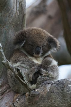 Koala by PacificKlaus #provestra