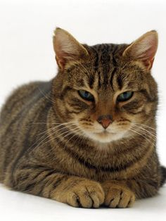 Domestic Cat, Striped Tabby  <3
