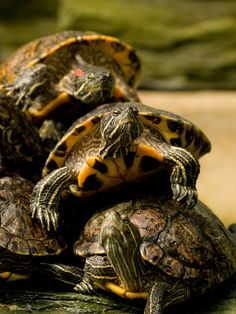 """magicalnaturetour: """"It's Turtles All The Way Down (by wwarby) """""""