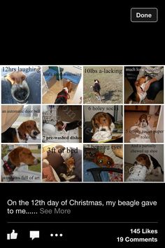 Beagles love Christmas