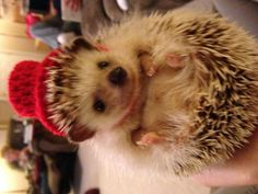 Hey, I found this really awesome Etsy listing at https://www.etsy.com/listing/193281694/little-top-hat-for-hedgehogs