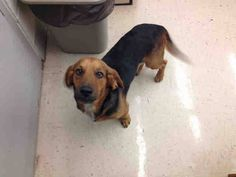 #ALABAMA #URGENT ~ 2yo MACK A051878 Basset mix -> 10/17 LAST CALL <- must have an exit plan by a.m. 10/18 If you are in #Mobile please go to the shelter Mobile County Animal Shelter 7665 Howells Ferry Rd Mobile, AL 36618. If you are an out of state & need rescue assistance, if you're local & you can #foster for rescue, OR if you'd like to #adopt  email info@sssdurgent.com!