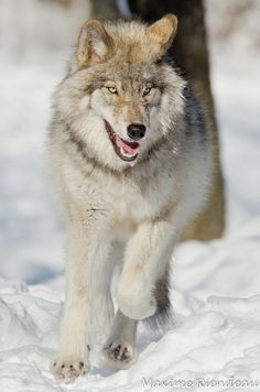 """Definitely a """"tame"""" wolf or a hidden camera. Beautiful nonetheless!"""