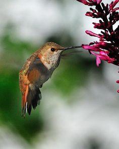best humming bird plants for zone 10