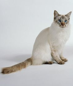 Siamese Cats And Human Allergies