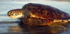 Projeto Tamar comemora aumento da população de tartarugas brasileiras