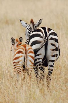 64e5a98261 zebra   foal ♛BOUTIQUE CHIC♛ Safari Chic