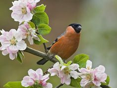 the very handsome bullfinch amid blossoms