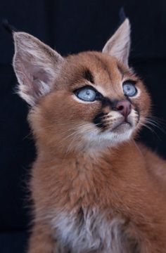 The Caracal the most beautiful cat species . - The Caracal the most beautiful cat type # style beaut - Baby Caracal, Caracal Kittens, Serval, Lynx Kitten, Siamese Cat, Bengal Cats, Sphynx Cat, Pretty Cats, Cute Kittens