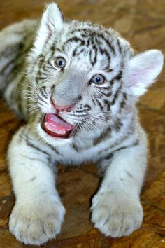 2ab0c640bc14 Baby White Tiger Cub. For more