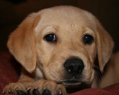 Nothing's like real gold - including a golden lab puppy!