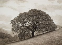 Terry Steinke, Valley Oak, Mt Diablo State Park, California. Aquatint Etching & Hard Ground Etching (single plate)