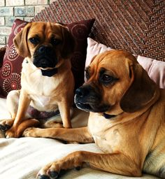Puggle's Cooper (3 1/2 years old) & Corbie (1 year old) share a seat - and a photo!