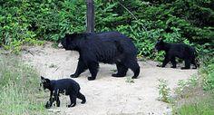 """Résultat de recherche d'images pour """"ours noir"""" Bear Gallery, Black Bear, Images, Animals, American Black Bear, Search, Animales, Animaux, Animal"""