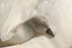 Under Mother's Wings by Roeselien Raimond, via 500px - Life is good, life is kind, life is tender.  Just for this moment, looking at this dear little cygnet fast asleep, I truly believe that.