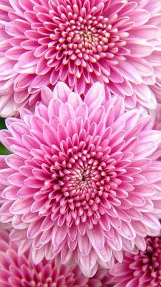 Hint o pink Amazing Flowers, Beautiful Flowers, Iphone 5s Wallpaper, Wallpapers Ipad, Chrysanthemum Flower, Flowers Nature, Wallpaper Downloads, Flower Wallpaper, Planting Flowers