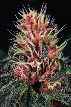 Purple marijuana explained: What you need to know about...
