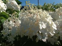 'Phantom' Hydrangeas have enormous flower heads-up to 15 inches long.
