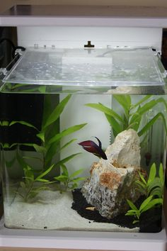 """Minimalist does not automatically equal betta-unfriendly! These tall plants are perfect for the betta to sleep on, especially when the ones to the front fill in more. The rock and the plants around it create a little """"safe spot"""" for the betta to hide in when he wants to. Photo & aquarium by houndeer, via Tumblr."""