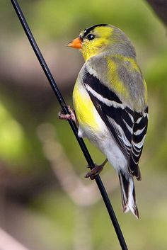 American or Eastern Goldfinch (Carduelis tristis).